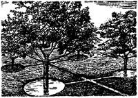 Поливка плодовых деревьев в приствольные чаши
